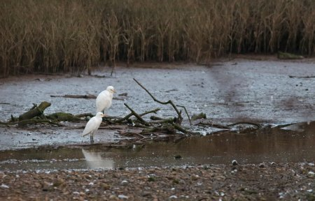Cattle Egrets by Chris Townend, Otter Estuary