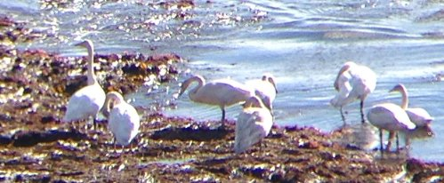 Whooper Swans Lannacombe Beach 27 Oct 2018 ML