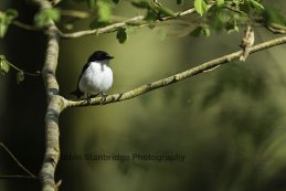 Male Pied Flycatcher.