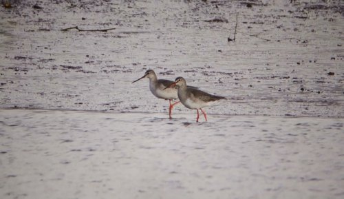 2 Spotted Redshanks