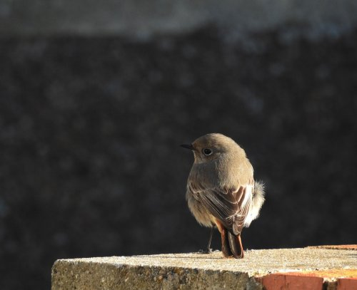 Black Redstart Seaton