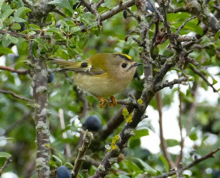 Goldcrest Berry Hd 08 Sep 2015 ML
