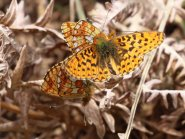 Mating Pearl Bordered Fritilary plus intruding male