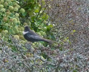 ring Ouzel BH 281012