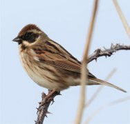 Reed Bunting?