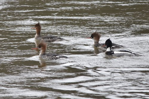 1 Makle & 3 Female Red-breasted Mergansers