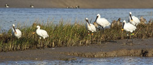 Spoonbills on Isley
