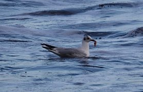 Black-headed Gull with probable starfish leg