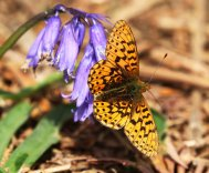 Pearl Bordered