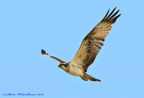 Osprey on passage.01