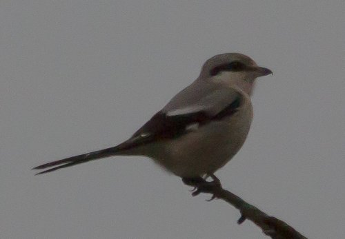 Great Grey Shrike - Corndonford Farm - 23.1.15