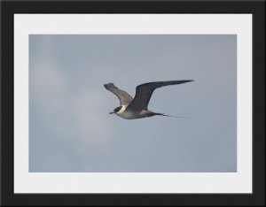 Photo 41 - Long Tailed Skua by Ian Teague
