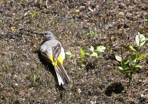Grey Wagtail enjoying the Sun