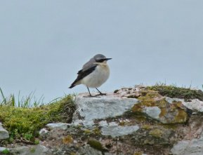 Wheatear Berry Head 17 March 2015 ML