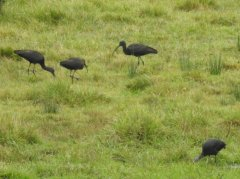 Four Glossy Ibis at Saltpill Pond,  Home Farm Marsh