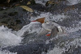 Female Goosander shooting the rapids at Cadover