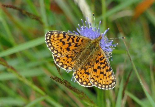 Probable Small Pearl-bordered Fritillary