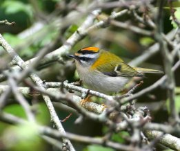 Firecrest Brixham 23 Oct 2017 ML