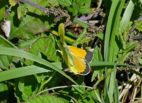 Clouded Yellow taking off