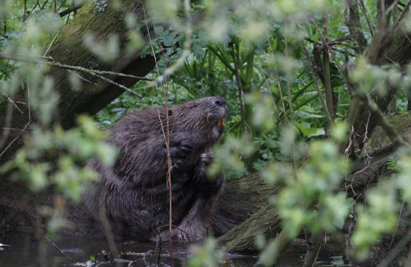 Beaver on the River Otter by Chris Townend