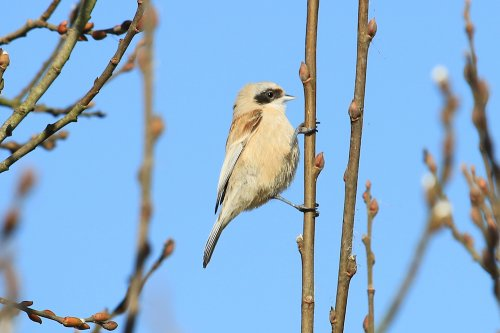 Penduline Tit at Darts Farm