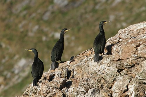 Shags on Cod Rock, Berry Head