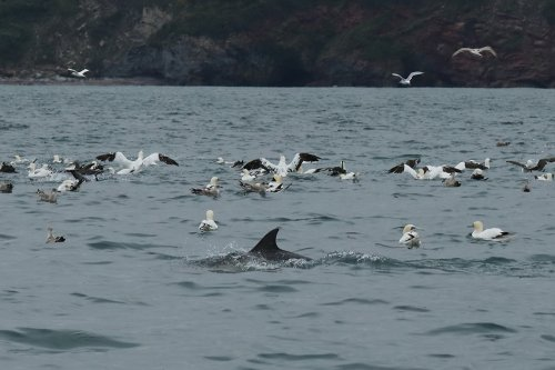 Common dolphin and gannets