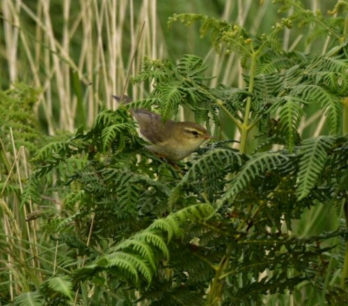 Not sure, willow warbler? ( small)