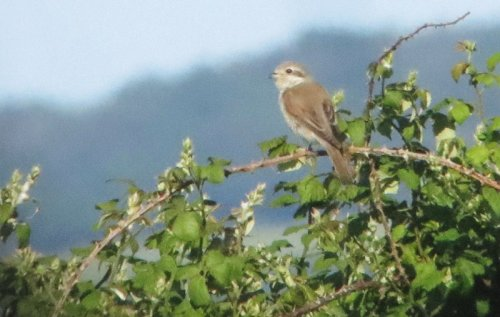 Red-backed Shrike. Tom Gale