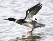 Red Breasted Merganser