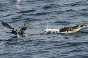 alearic Shearwater attacked by Great Black-back Gull