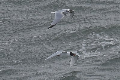 Mediterranean Gulls (adult bp and 2w)