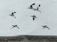 Avocets in blizzard