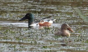 Male and Female Shoveler
