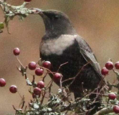 Ring Ouzel at South Brent on 22.10.14