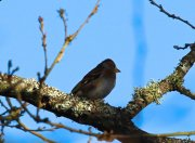 Female Brambling - one of many across the ridge