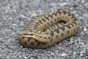 Angry adder