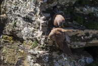 Less than a second from her arrival, the female has rotated 120 degrees and jumped off the cliff with the Lizard.
