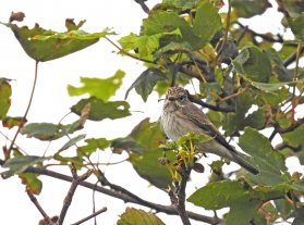 Spotted Flycatcher Berry Head 16 Aug 2020 ML