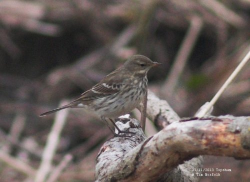 Water Pipit - Topsham 27/11/2013
