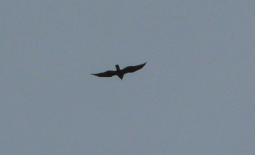 marsh harrier (presumed juv) - only my second on Orcombe
