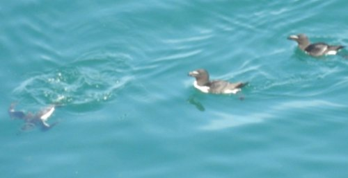 Razorbills with one diving for fish