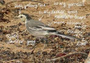 pied Wagtail 1w