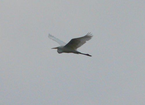 another shot of Sunday's great white egret