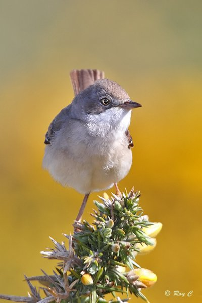 Whitethroat © Roy Churchill