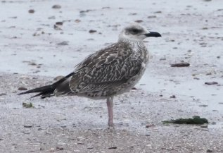 juv Yellow-legged Gull Goodrington 19 July 2017 ML