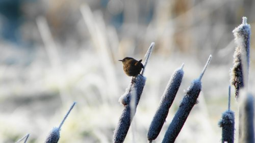Wren sat on top frosty reed mace at Darts Farm