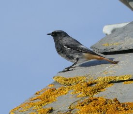 Black Redstart Male Hallsands 31 Oct 2015 ML