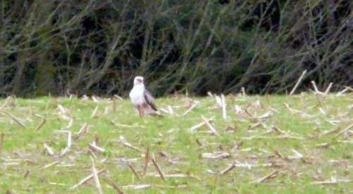 pale common buzzard