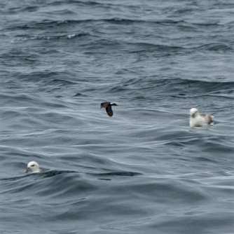 Storm Petrel between Fulmars